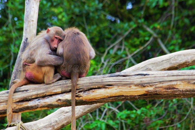 Scimmie insieme in zoo in Germania a Augusta fotografia stock libera da diritti