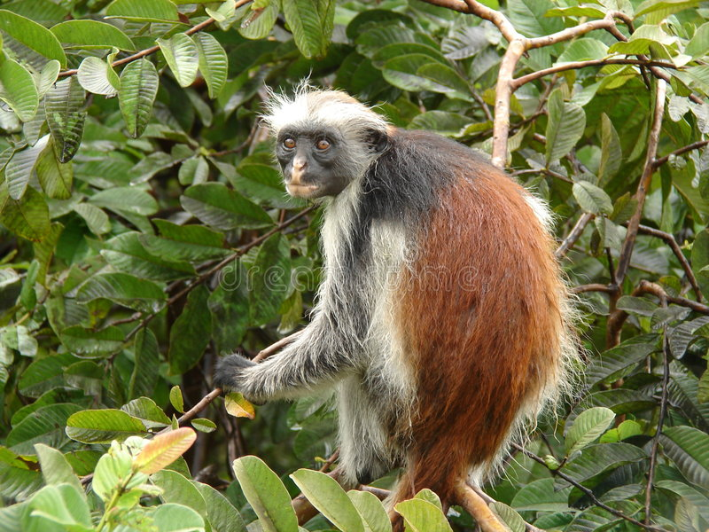 Scimmie rosse di colubus immagine stock libera da diritti