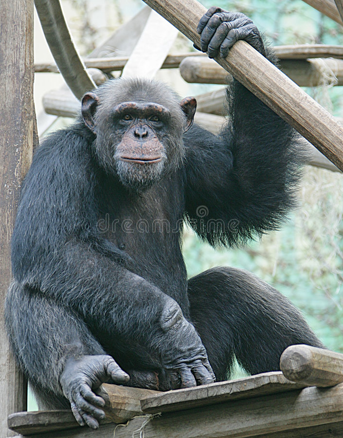 Scimpanzè 4 fotografia stock libera da diritti