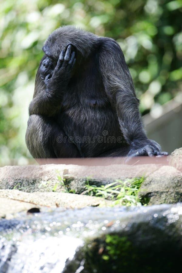 Scimpanzè immagine stock libera da diritti