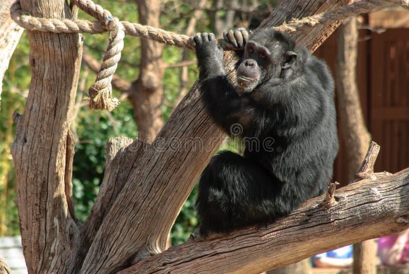 Scimpanzè che gioca nel giardino zoologico fotografia stock libera da diritti