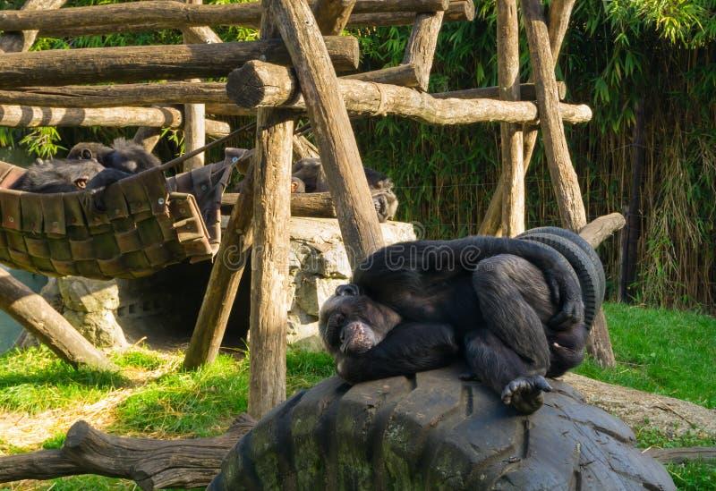 Scimpanzè comune pigro che mette sulla gomma di automobile e che graffia i suoi animali indietro e popolari dello zoo immagini stock libere da diritti