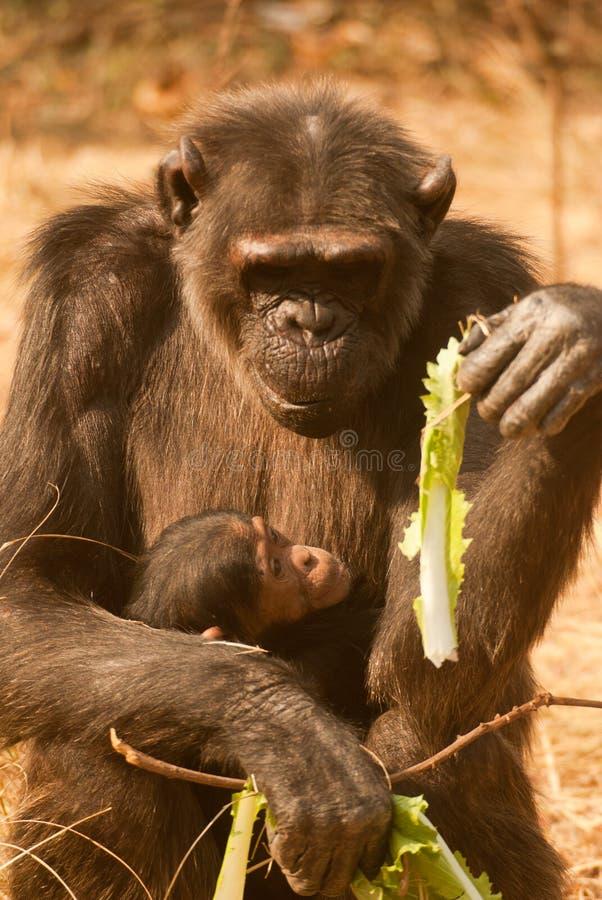 Scimpanzè con il bambino fotografie stock