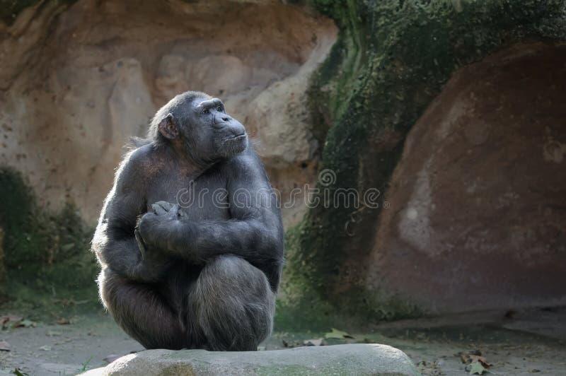 Scimpanzè con lo sguardo fiero ed importante fotografie stock libere da diritti