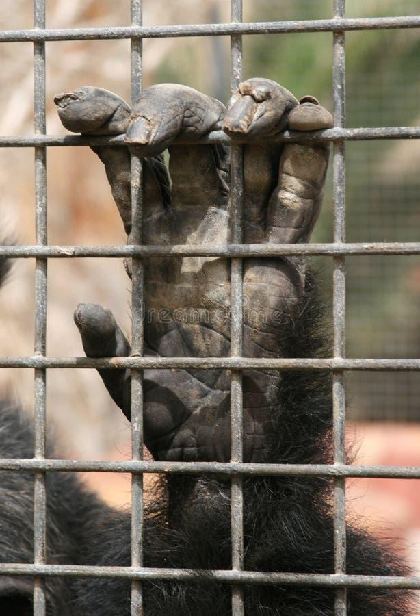Scimpanzè in gabbia fotografie stock libere da diritti
