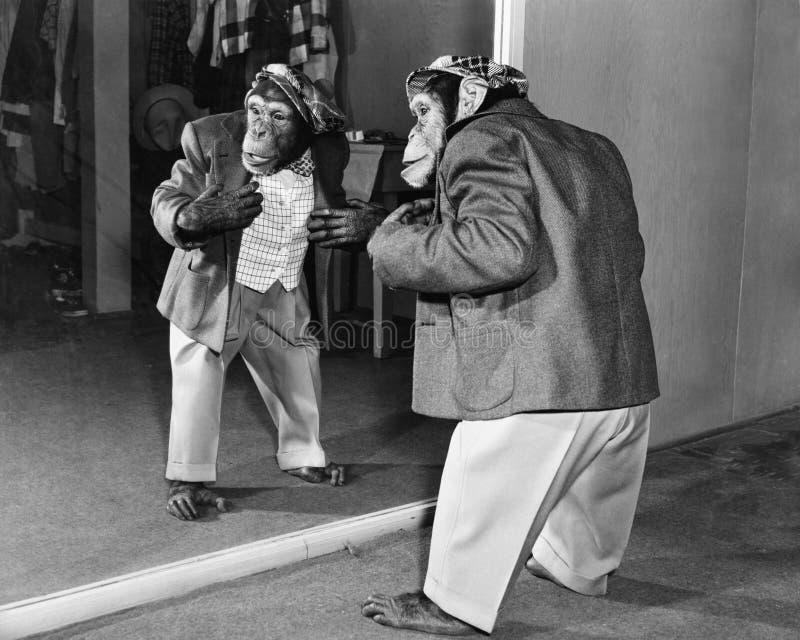 Scimpanzè in rivestimento e pantaloni davanti ad uno specchio (tutte le persone rappresentate non sono vivente più lungo e nessun fotografia stock libera da diritti
