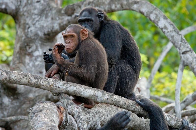 Scimpanzè sui rami della mangrovia La Repubblica del Congo Riserva di Conkouati-Douli immagini stock