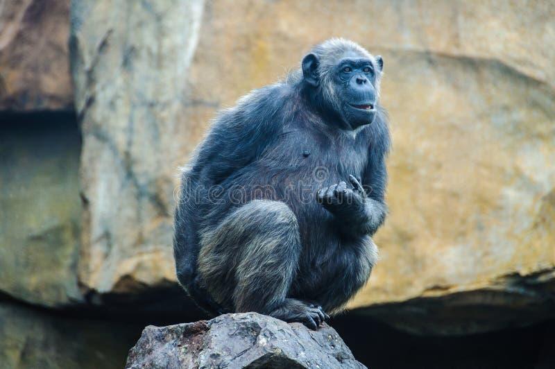 Scimpanzè in uno zoo a Valencia, Spagna fotografia stock