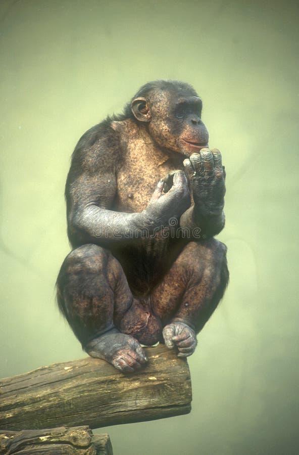 Scimpanzé solo fotografia stock libera da diritti