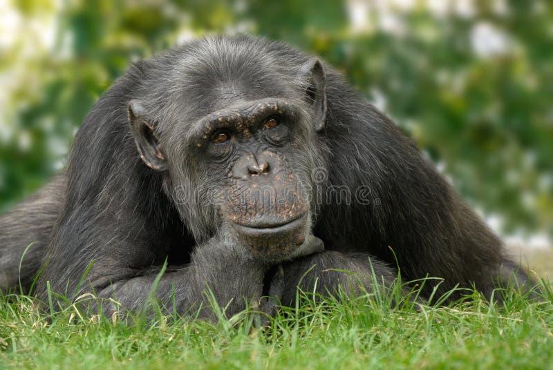 Scimpanzé sveglio con posizione riflettente fotografia stock libera da diritti