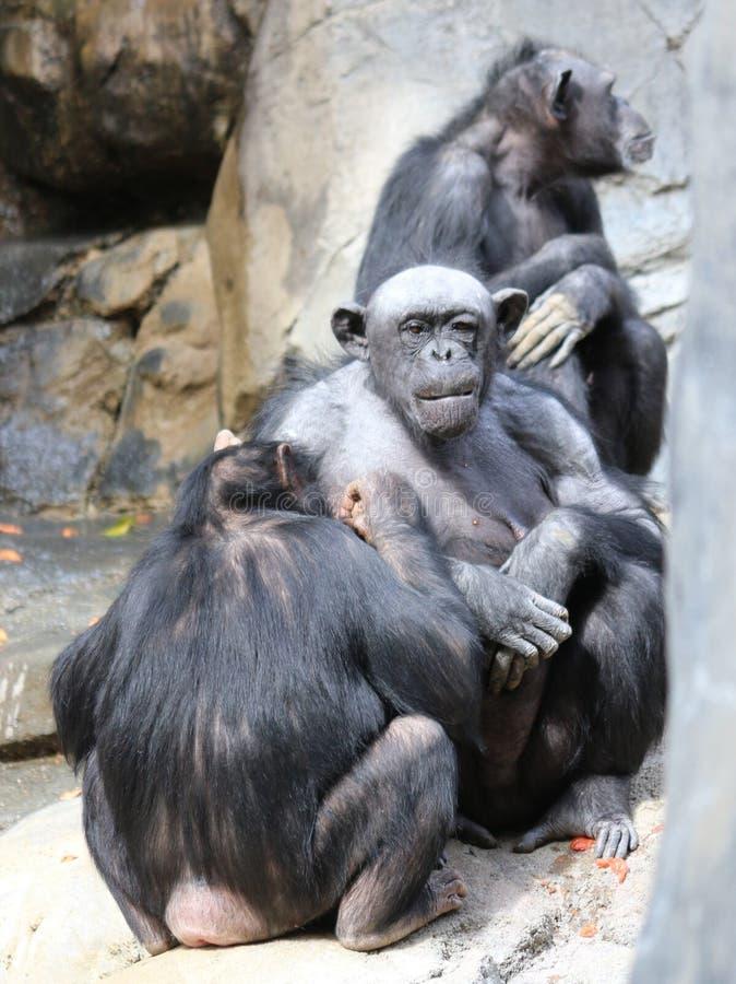 scimpanz? fotografia stock