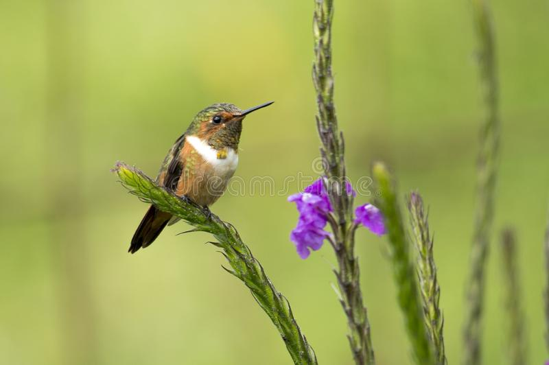Scintillant Hummingbird. The miniature scintillant hummingbird sitting on a plant in Costa Rica stock photos