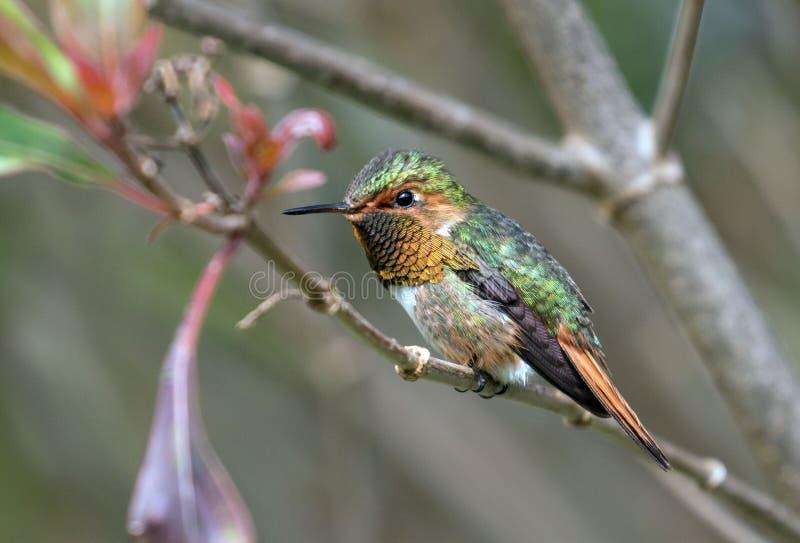 Scintillant Hummingbird Selasphorus scintilla stock image