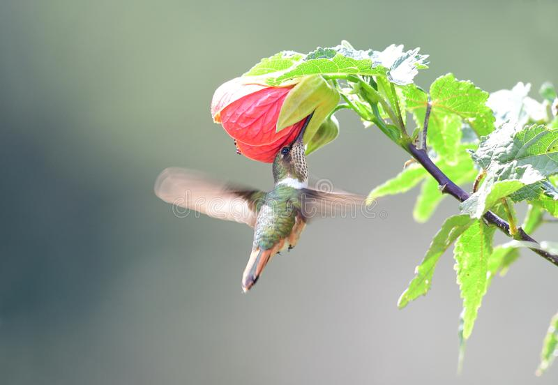 Scintillant Hummingbird Selasphorus scintilla Female. Visiting a hibicus flower royalty free stock photo
