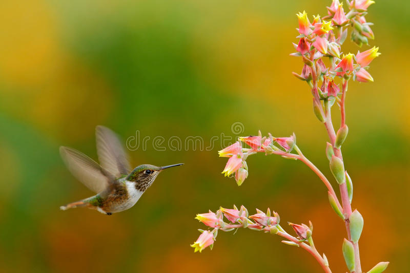 Scintillant Hummingbird, Selasphorus scintilla, tiny bird, smallest hummingbird from Costa Rica, action feeding scene next tu beau. Scintillant Hummingbird stock image
