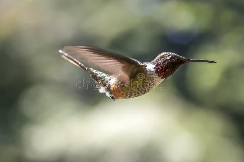 Scintillant Kolibri Curi Cancha, Costa Rica stockfotos