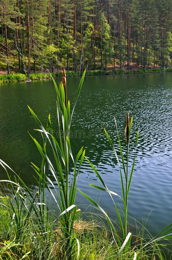 Scirpus plants. On the lake royalty free stock photos
