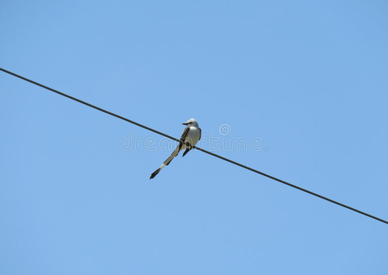 Scissor-angebundener Schnäppervogel auf einem Draht stockbilder