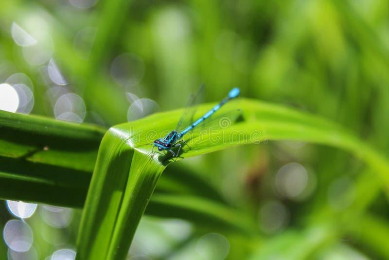 Scitulum bleu de Coenagrion sur le bord du congé d'herbe, vue de face photo libre de droits