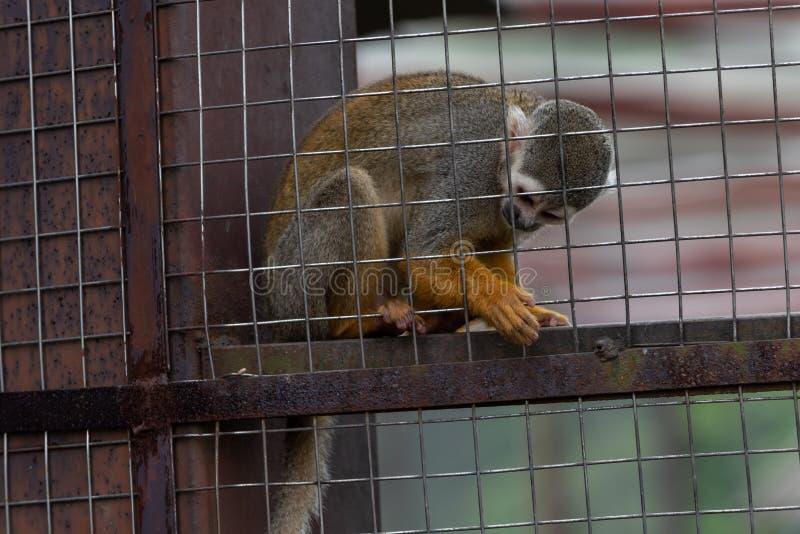 Sciureus πίθηκος-Saimiri σκιούρων στοκ εικόνα με δικαίωμα ελεύθερης χρήσης