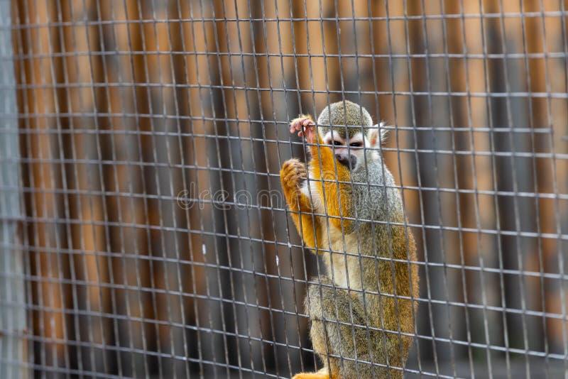 Sciureus πίθηκος-Saimiri σκιούρων στοκ εικόνες με δικαίωμα ελεύθερης χρήσης