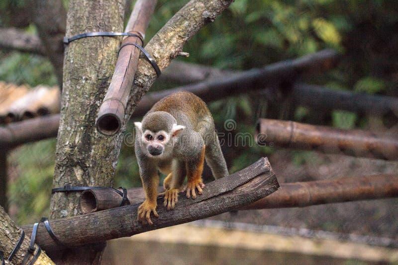 Sciureus comune del Saimiri della scimmia scoiattolo immagini stock