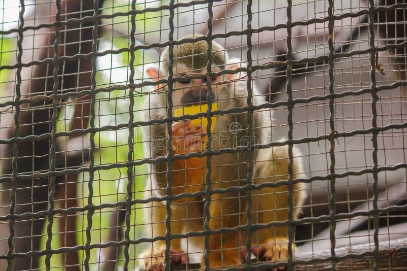 Sciureus do Saimiri em uma gaiola fotografia de stock royalty free