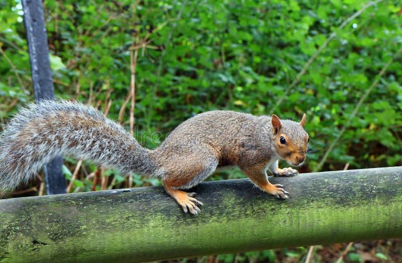 Sciurus carolinensis, wschodnich szarość wiewiórka obrazy stock
