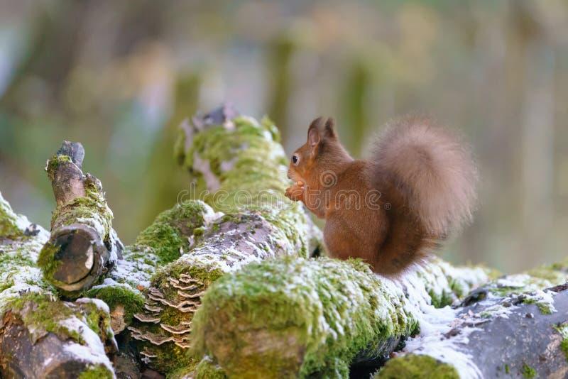 Sciurus dello scoiattolo rosso vulgaris fotografia stock