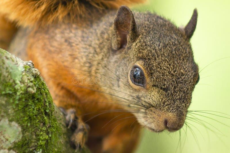 Sciurus för röd ekorre som är vulgaris på träd arkivfoto