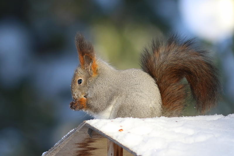Sciurus gemein Im Winter isst das Eichhörnchen Nüsse auf dem ro stockfotografie
