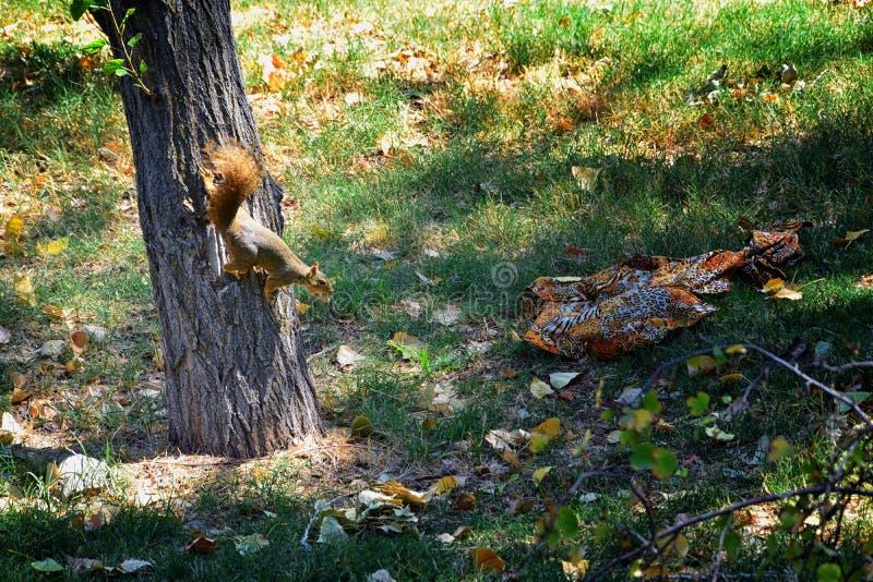 Sciurus Niger d'écureuil de Fox le long de Jordan River Trail à Salt Lake City, Utah, également connu sous le nom d'écureuil de r photo libre de droits