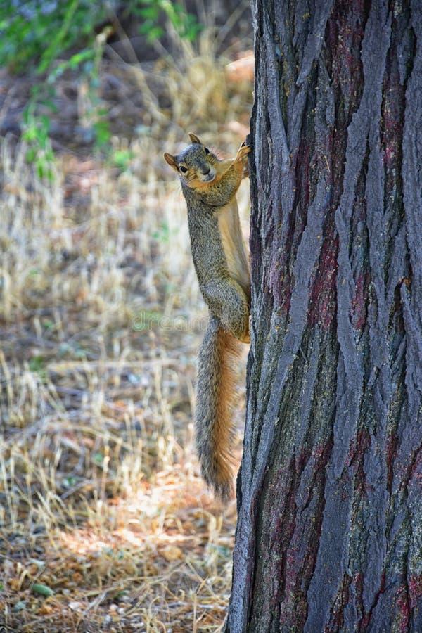 Sciurus Niger d'écureuil de Fox le long de Jordan River Trail à Salt Lake City, Utah, également connu sous le nom d'écureuil de r images libres de droits
