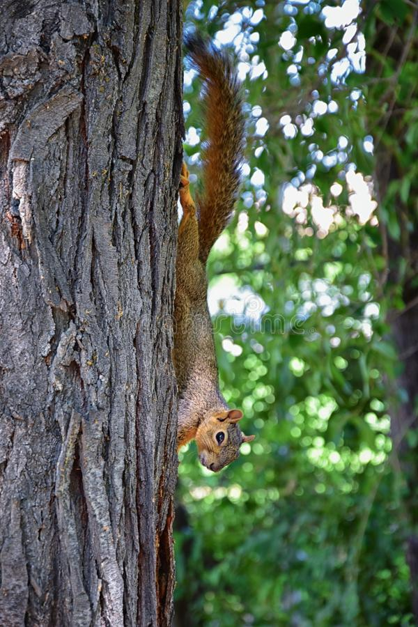 Sciurus niger do esquilo de Fox ao longo de Jordan River Trail em Salt Lake City, Utá, igualmente conhecido como o esquilo de rap fotografia de stock