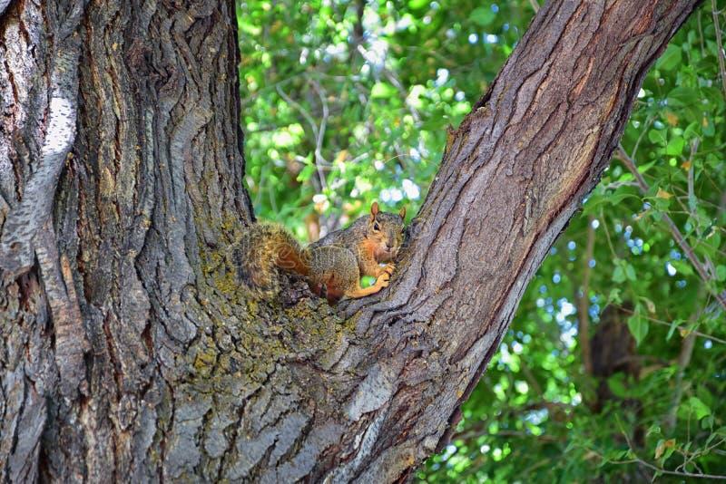 Sciurus niger do esquilo de Fox ao longo de Jordan River Trail em Salt Lake City, Utá, igualmente conhecido como o esquilo de rap fotografia de stock royalty free