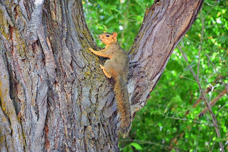 Sciurus niger do esquilo de Fox ao longo de Jordan River Trail em Salt Lake City, Utá, igualmente conhecido como o esquilo de rap imagem de stock
