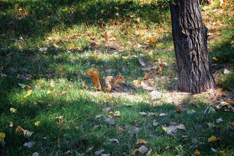 Sciurus niger do esquilo de Fox ao longo de Jordan River Trail em Salt Lake City, Utá, igualmente conhecido como o esquilo de rap imagem de stock royalty free