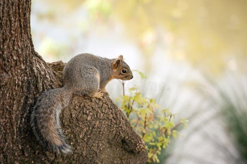 Sciurus Niger, scoiattolo di volpe fotografia stock
