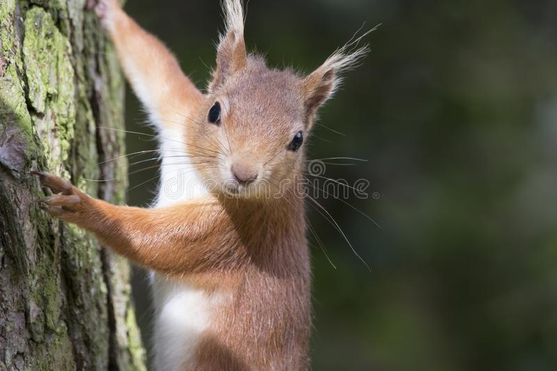 Sciurus vulgaris, red squirrel body and face portraits. Sciurus vulgaris, red squirrel full body and facial portraits close up stock images