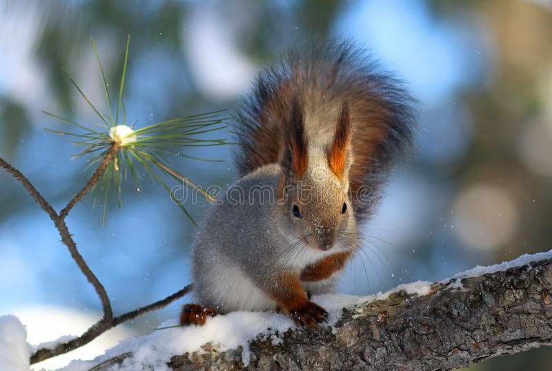 Sciurus vulgaris. Red squirrel sitting on the dry branch of the. Sciurus vulgaris. Red squirrel closeup on tree royalty free stock image