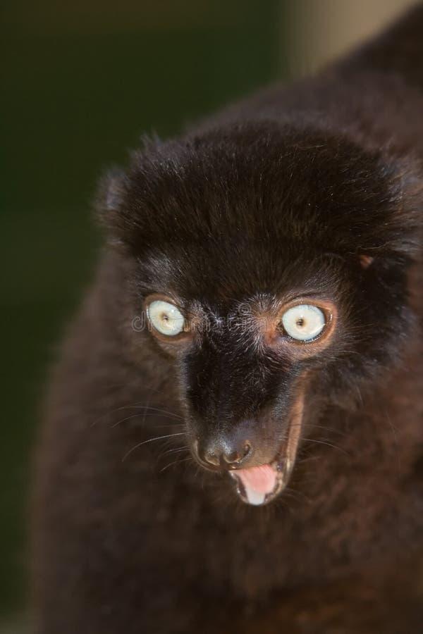 Sclaters schwarzer Lemur stockfotografie