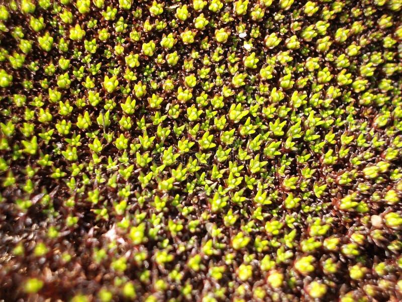 Scleranthus Biflorus foto de archivo libre de regalías