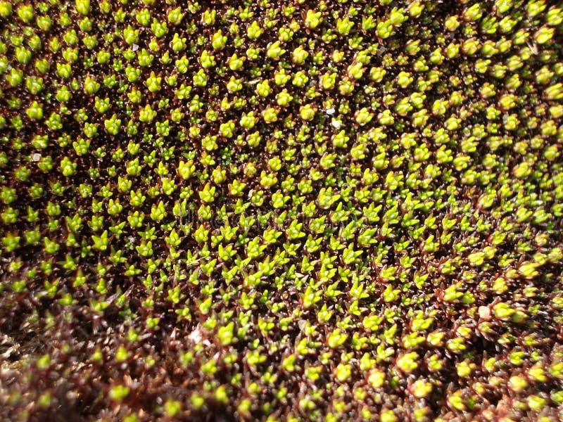 Scleranthus Biflorus 2 Stock Image