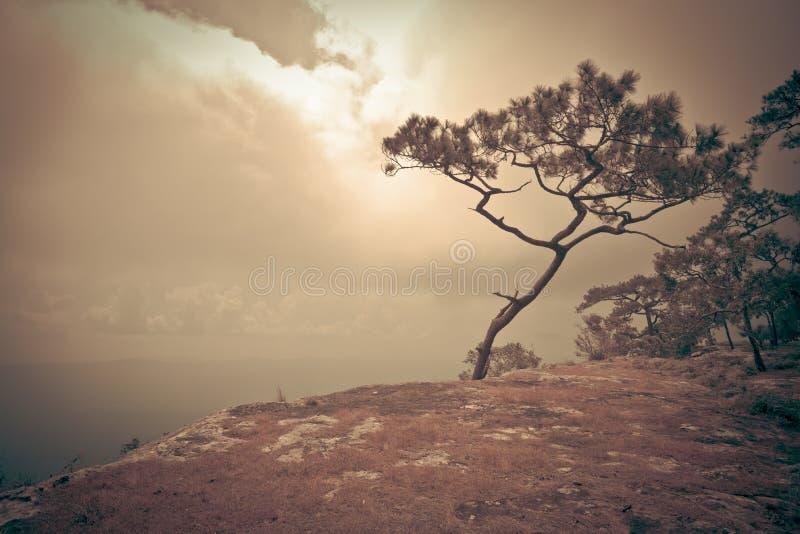 Scogliera del pino fotografia stock libera da diritti