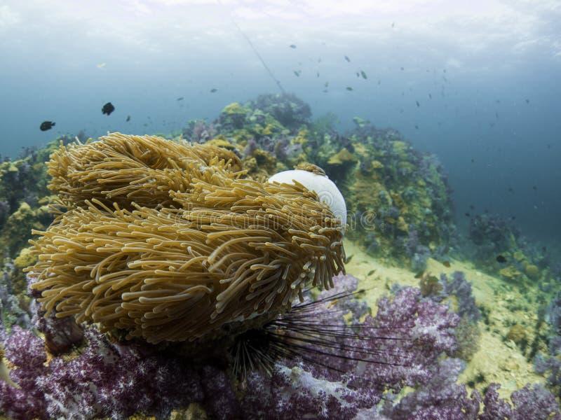 Scogliera dell'anemone fotografie stock
