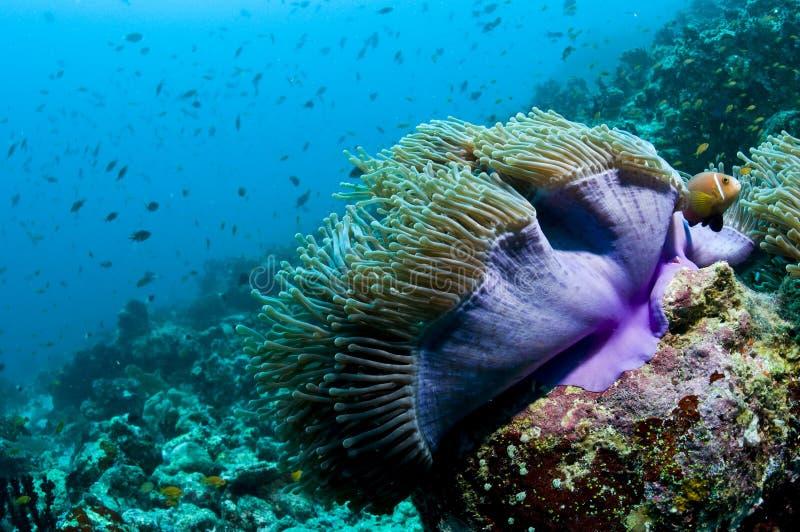 Scogliera ed anemone con i pesci, Maldives, Oceano Indiano fotografia stock