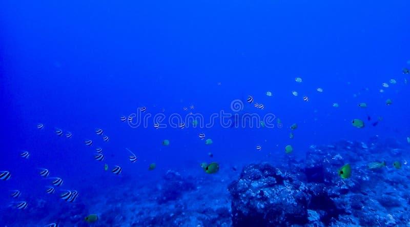 Scogliera subacquea con il pesce e lo squalo martello tropicali in Dista immagini stock libere da diritti