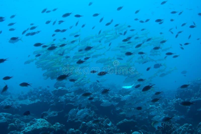 Scogliera tropicale subacquea in Tailandia immagine stock
