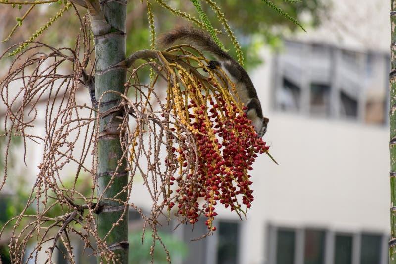 Scoiattoli che mangiano la frutta sugli alberi fotografia stock