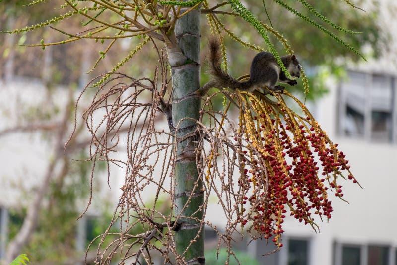 Scoiattoli che mangiano la frutta sull'albero fotografia stock libera da diritti